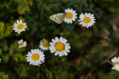 Anthemis-arvensis-incrassata