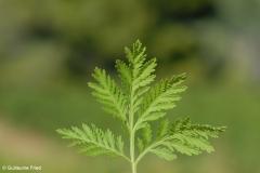 Artemisia-annua_fe
