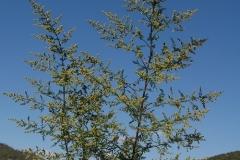 Artemisia-annua_fl