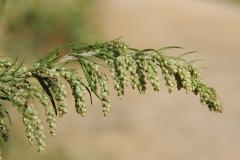 Artemisia-verlotiurum-1