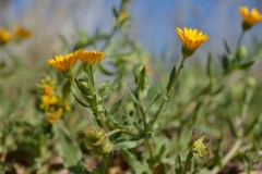 Calendula-arvensis-6
