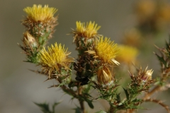 Carlina-hispanica-subsp-hispanica3
