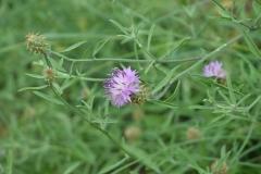 Centaurea-aspera-3