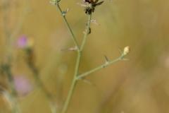Centaurea-paniculata-subsp-paniculata-1