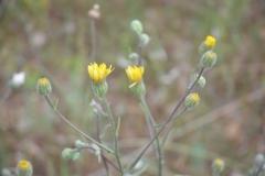 Crepis-foetida-Inflorescence