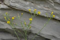Crepis-pulchra