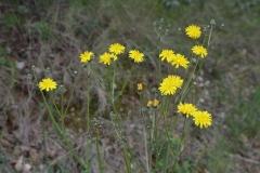 Crepis-vesicaria-subsp-taraxacifolia-1