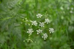 Anthriscus-sylvestris-fleurs