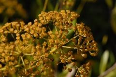 Foeniculum-vulgare_fleurs