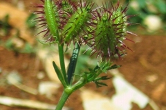 Orlaya-platycarpos-2