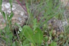 Scandix-australis